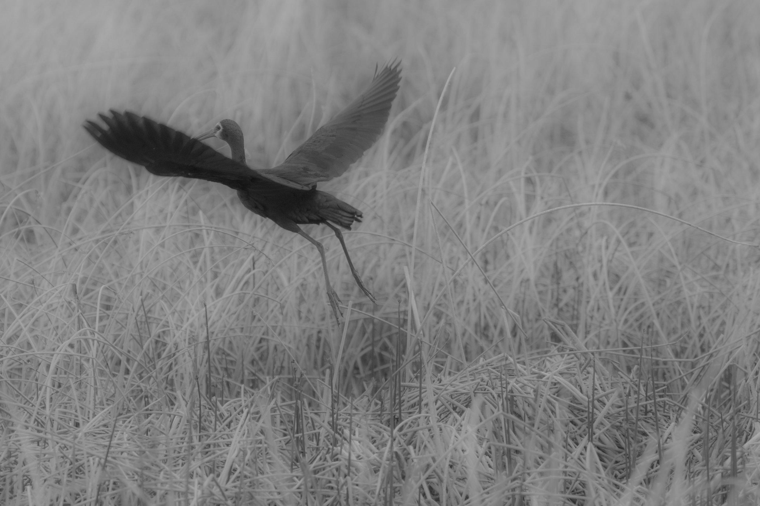 Ibis Dream-1.jpg