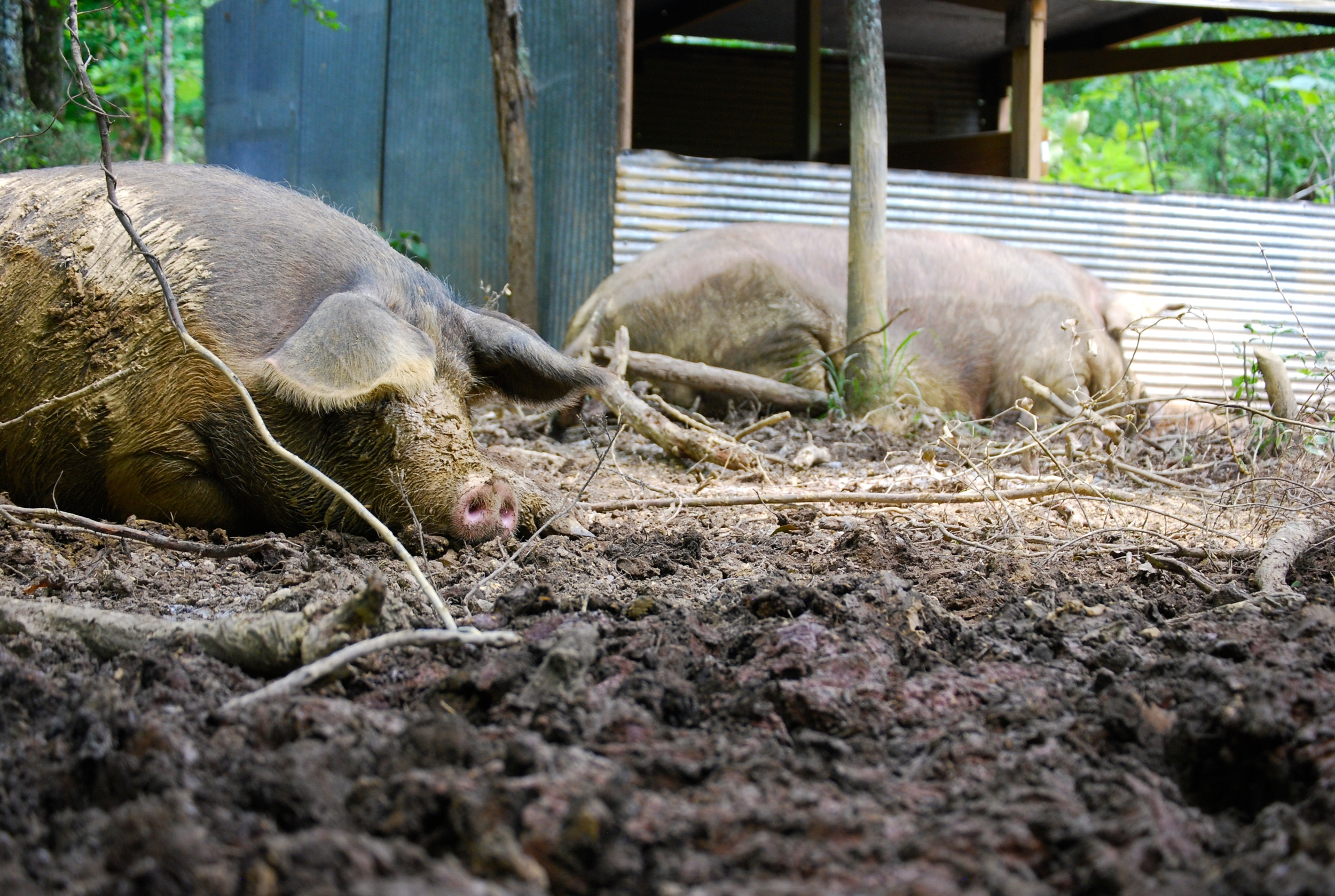 heavily pregnant sows near their farrowing houses