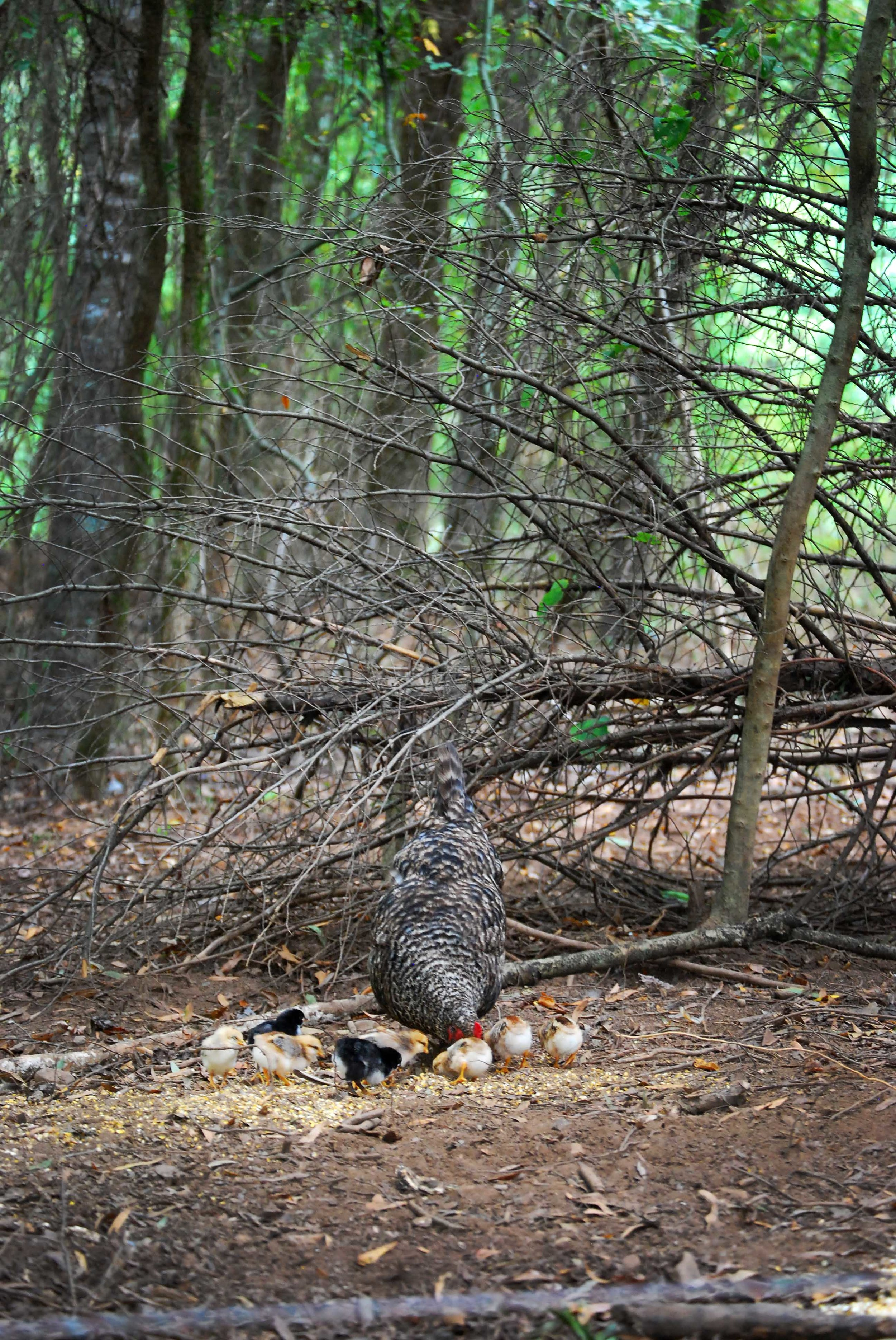 Feral mama hen raising her chicks without any assistance amidst the woodland sow pasture.