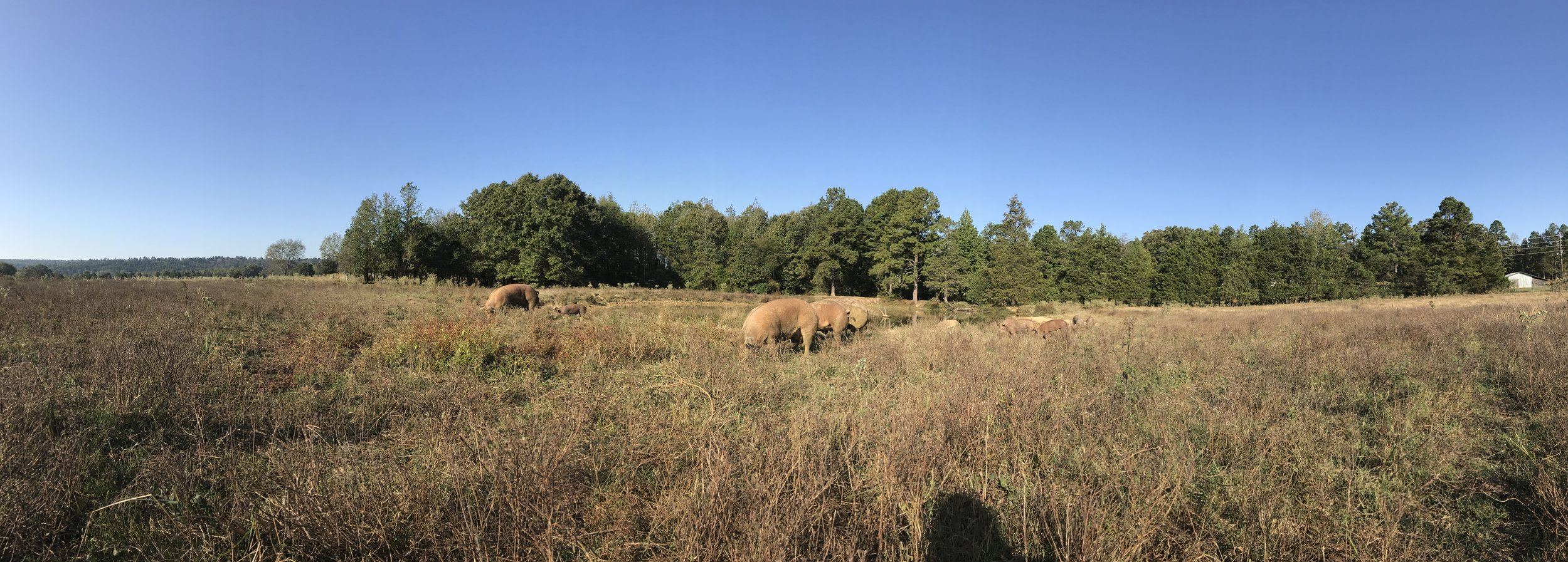 Sows and babies roaming just a bit too freely as they forage for Sedge nuts and sprouted acorns by the front pond