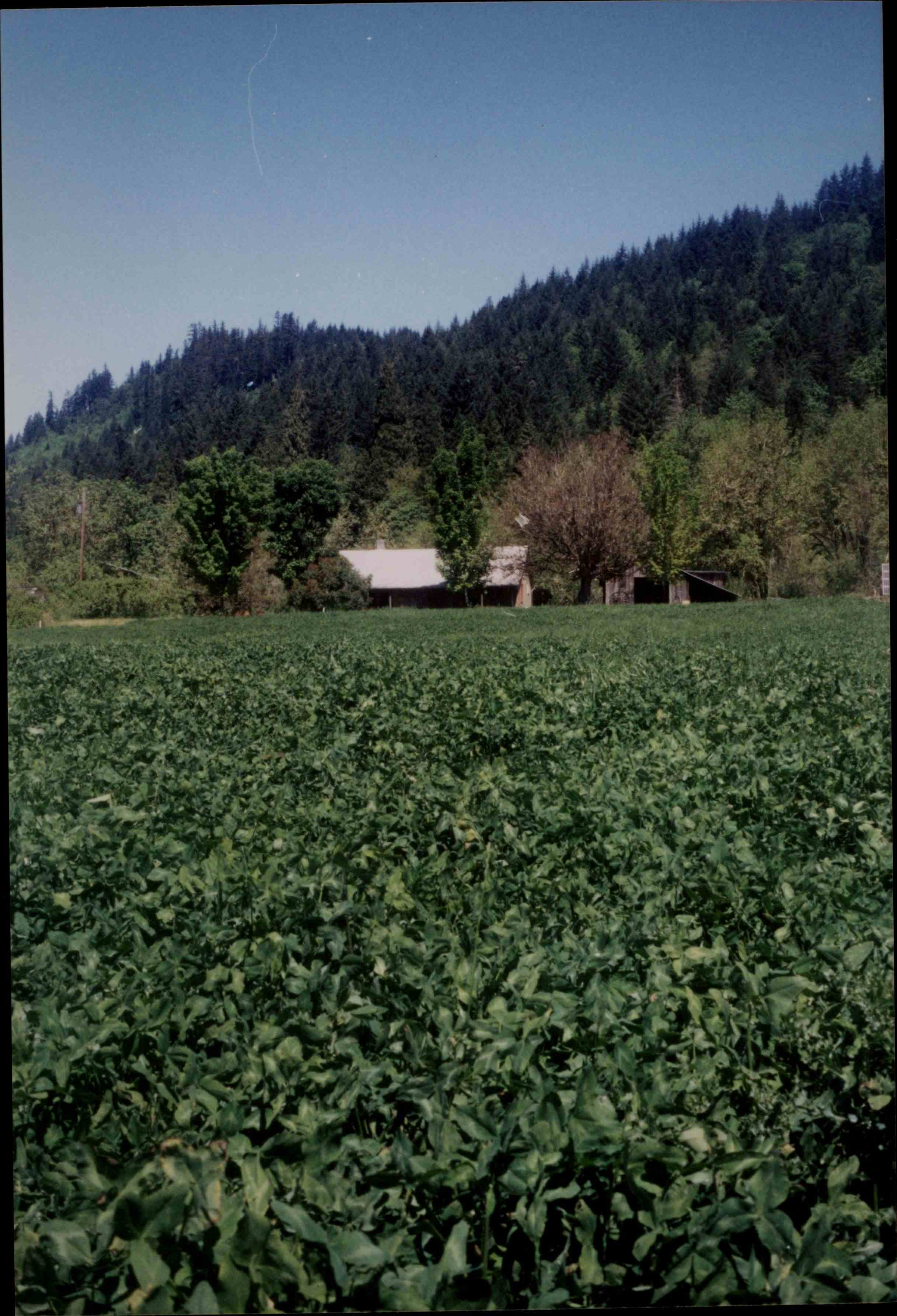 Clover cover crop