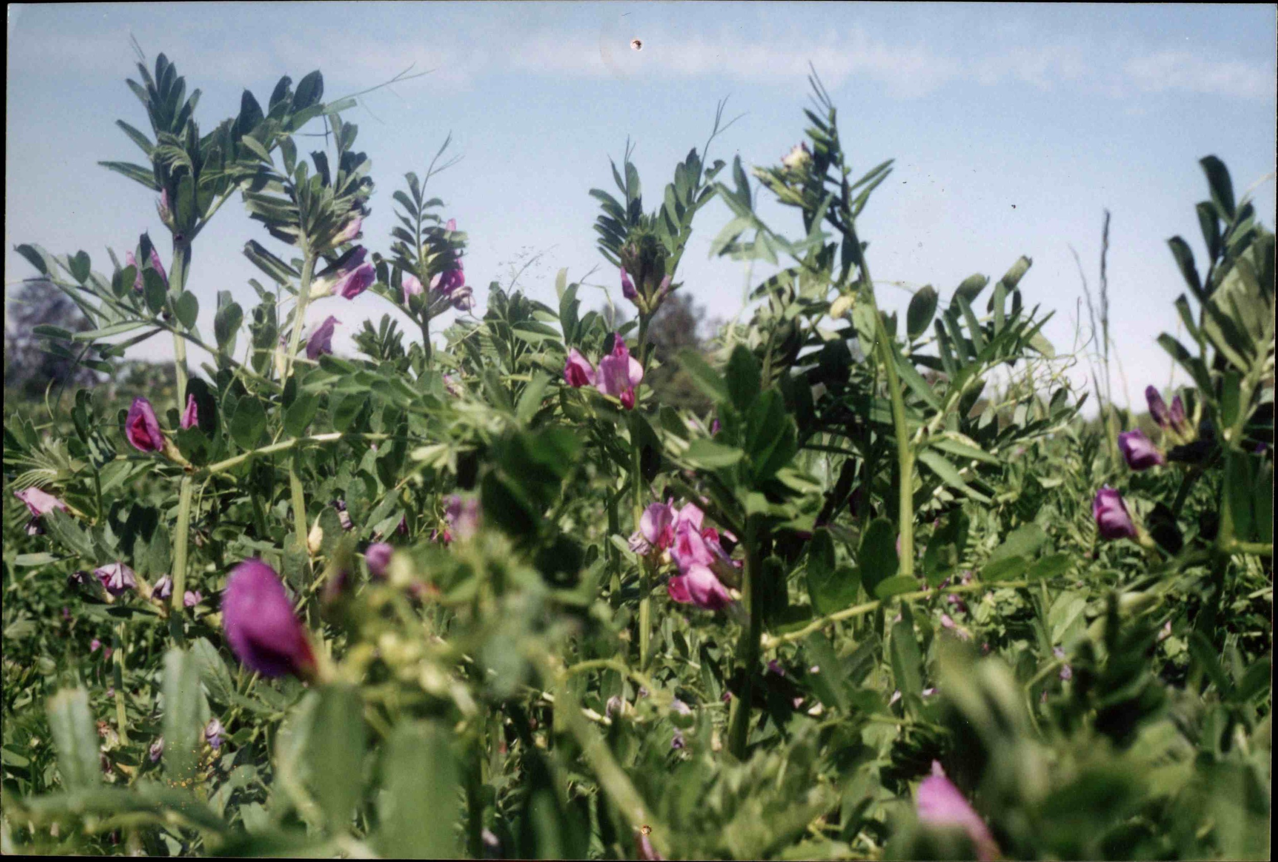 Vetch cover crop.