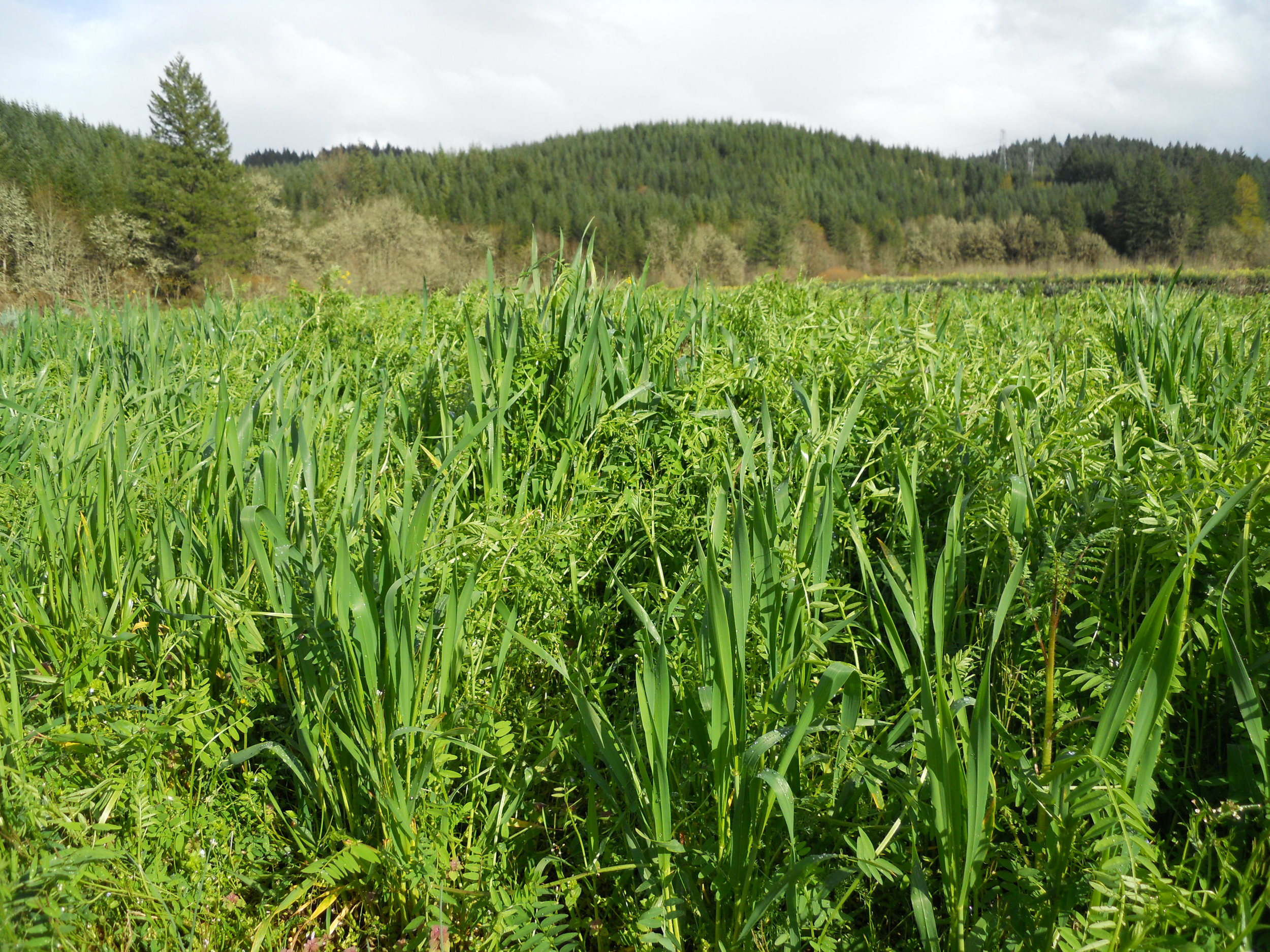 Growing a grass and a legume together in a cover crop mix enhances each plant's usefulness.  The wheat and vetch compete, inspiring each plant to grow taller than it would alone, and the wheat provides a trellis for the vetch.