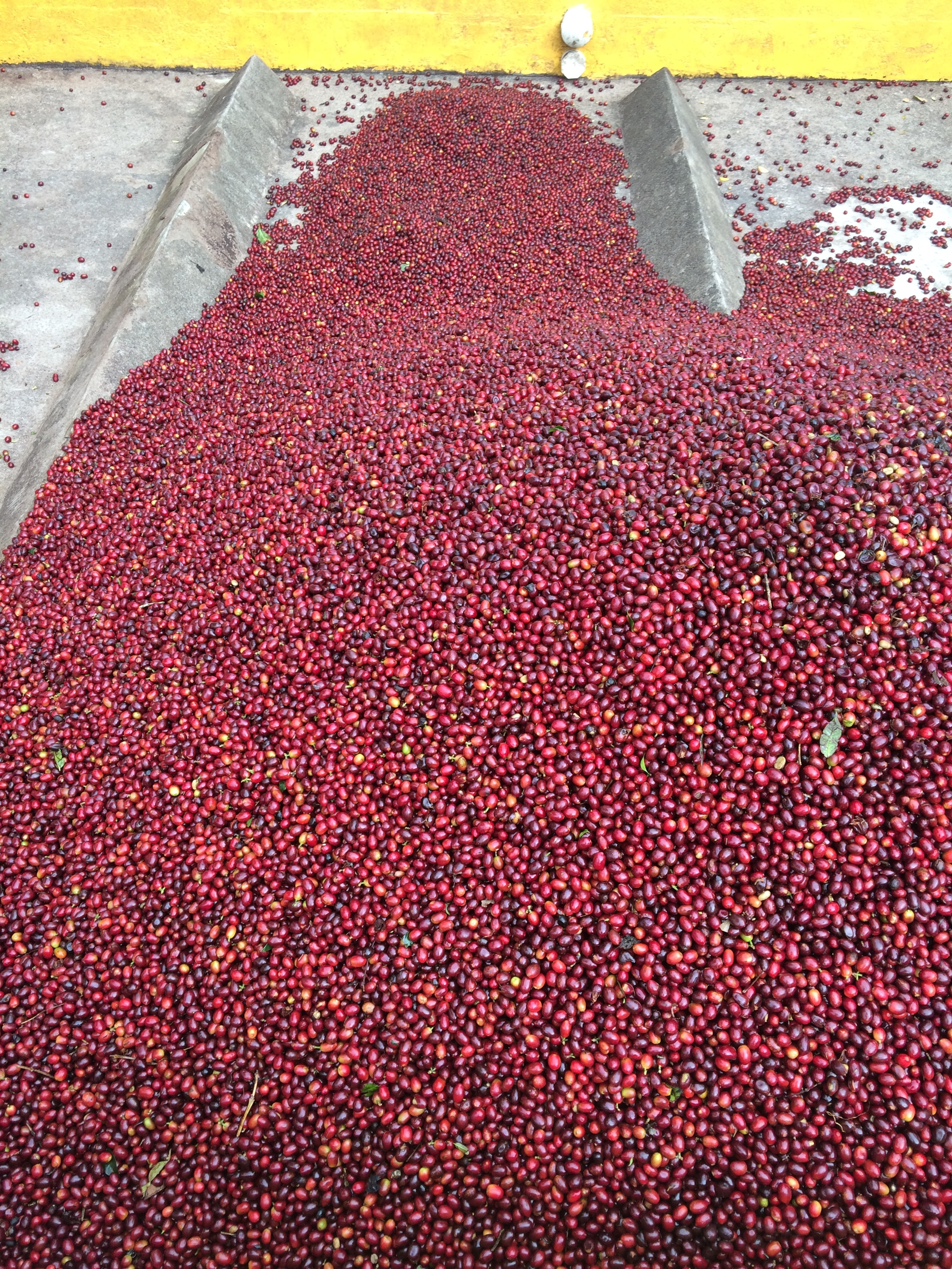 Coffee Cherries delivered to the mill.