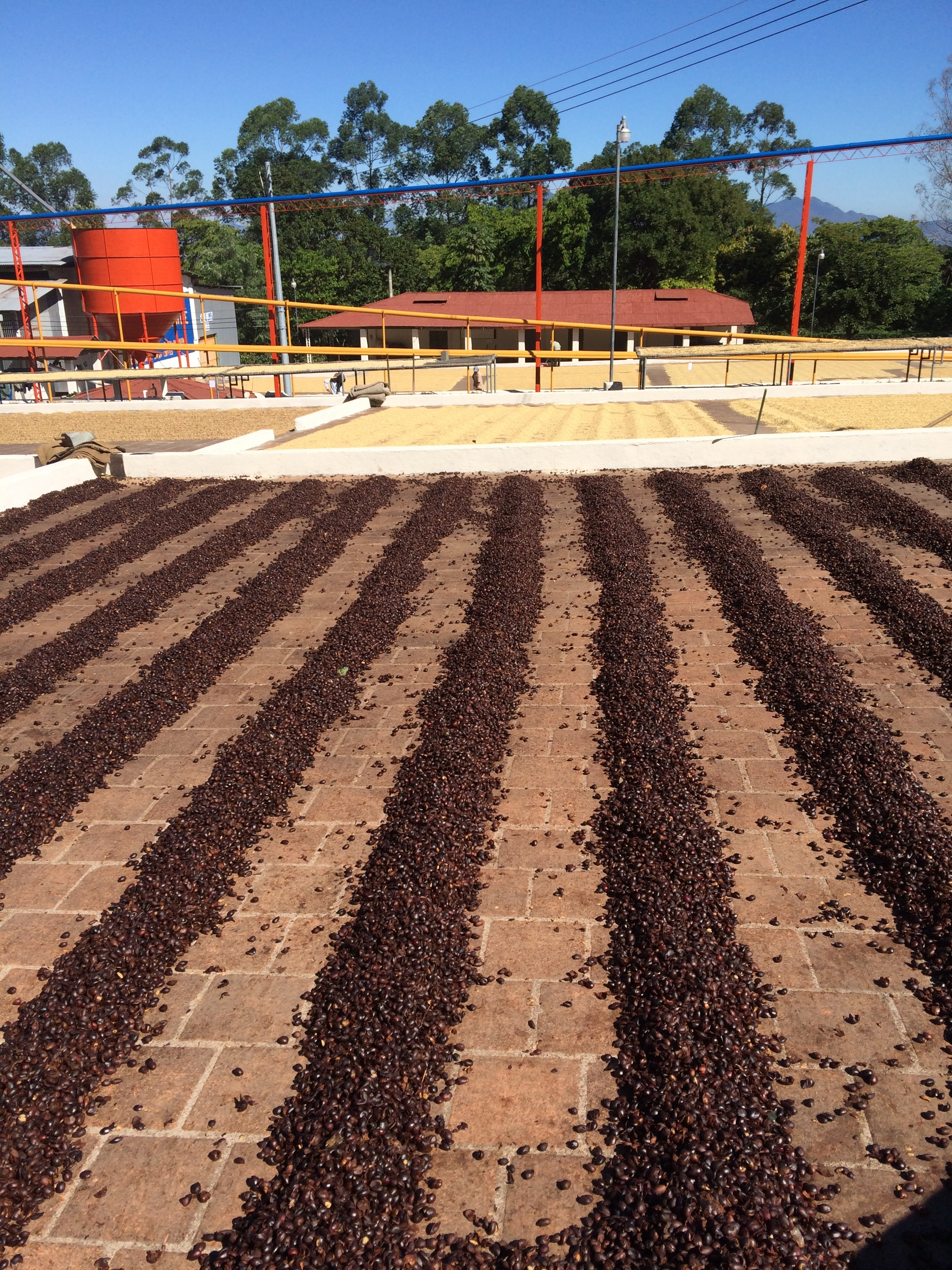 Cascara drying on a patio.