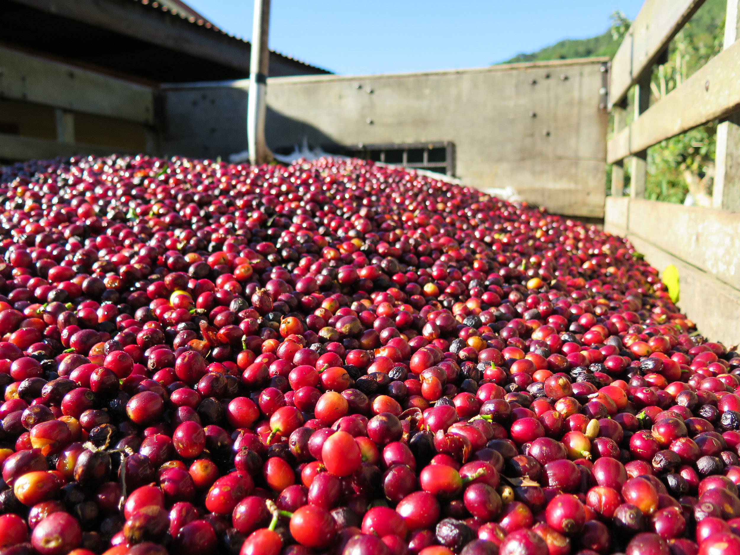 Fresh picked coffee cherries at La Chumeca Micromill.
