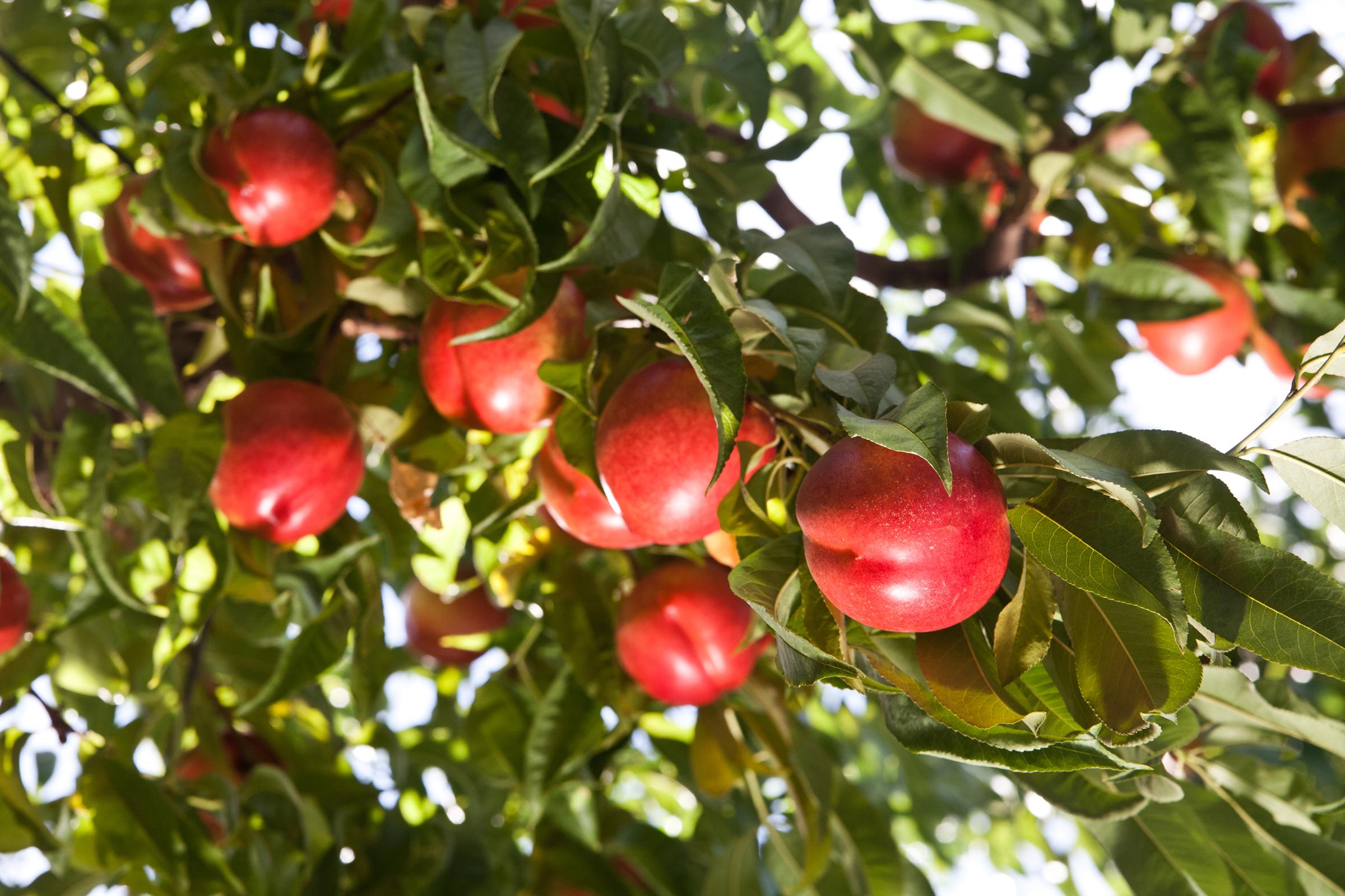 DulceVida Yellow Nectarine's