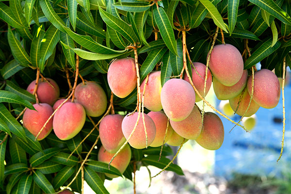 Calypso® Mangoes pictured on the tree.  Click to download high resolution image.