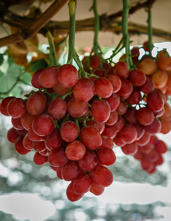Nature's Partner Passion Fire red seedless grapes. Access high resolution image.
