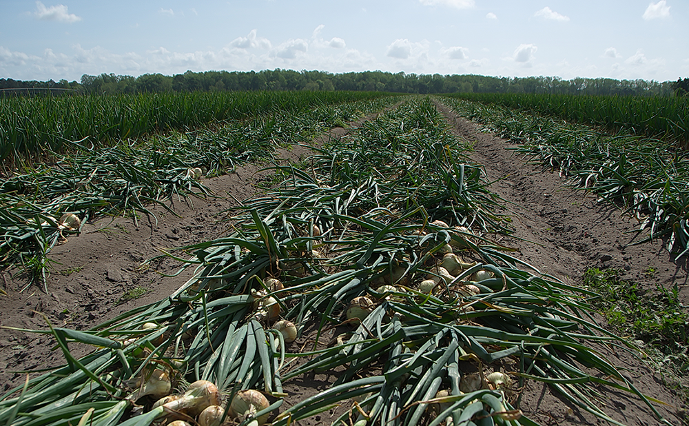 Freshly-pulled Vidalia onions.  Access high resolution image.