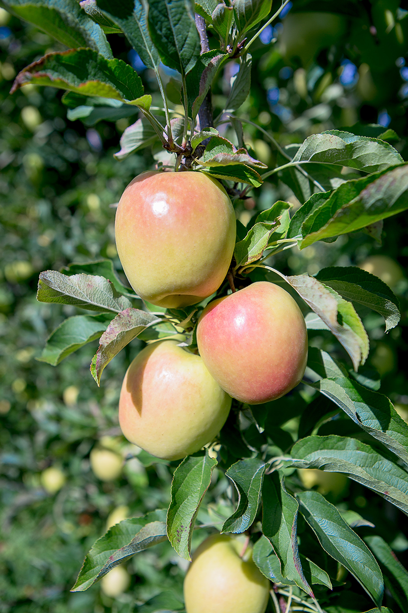 Lemonade apples on the tree in New Zealand.  Access high resolution image.