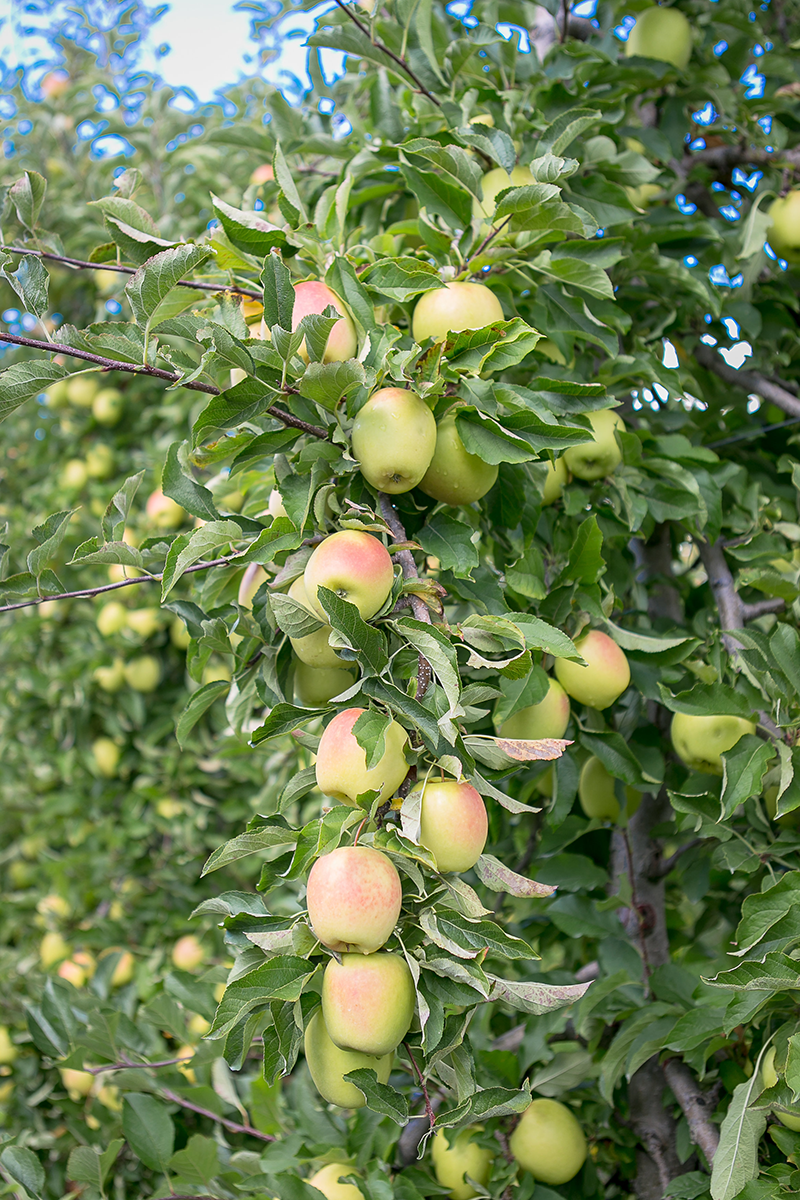 Lemonade apples.  Access high resolution image.
