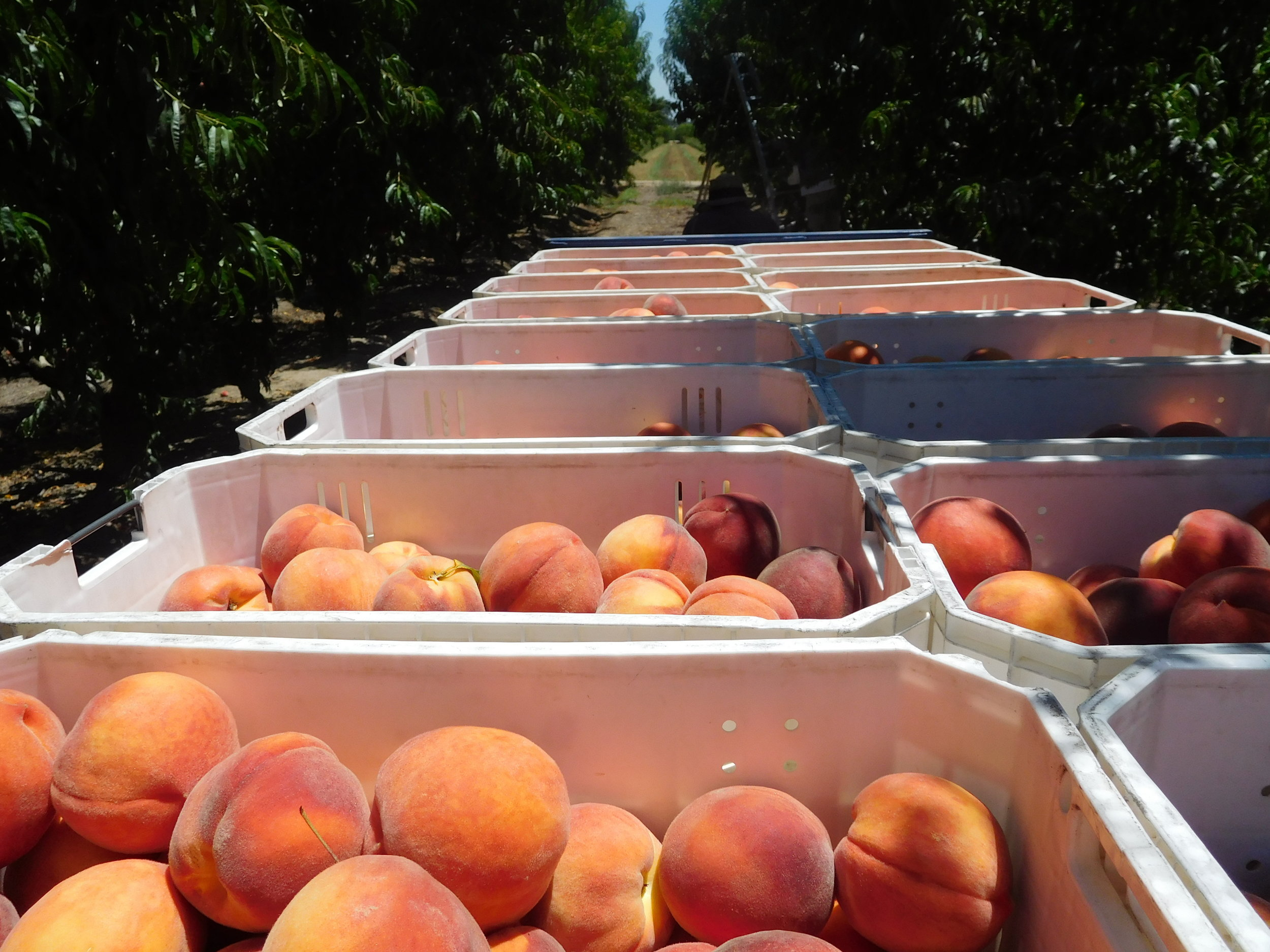 We handpick our fruit into totes before it arrives at the packhouse.
