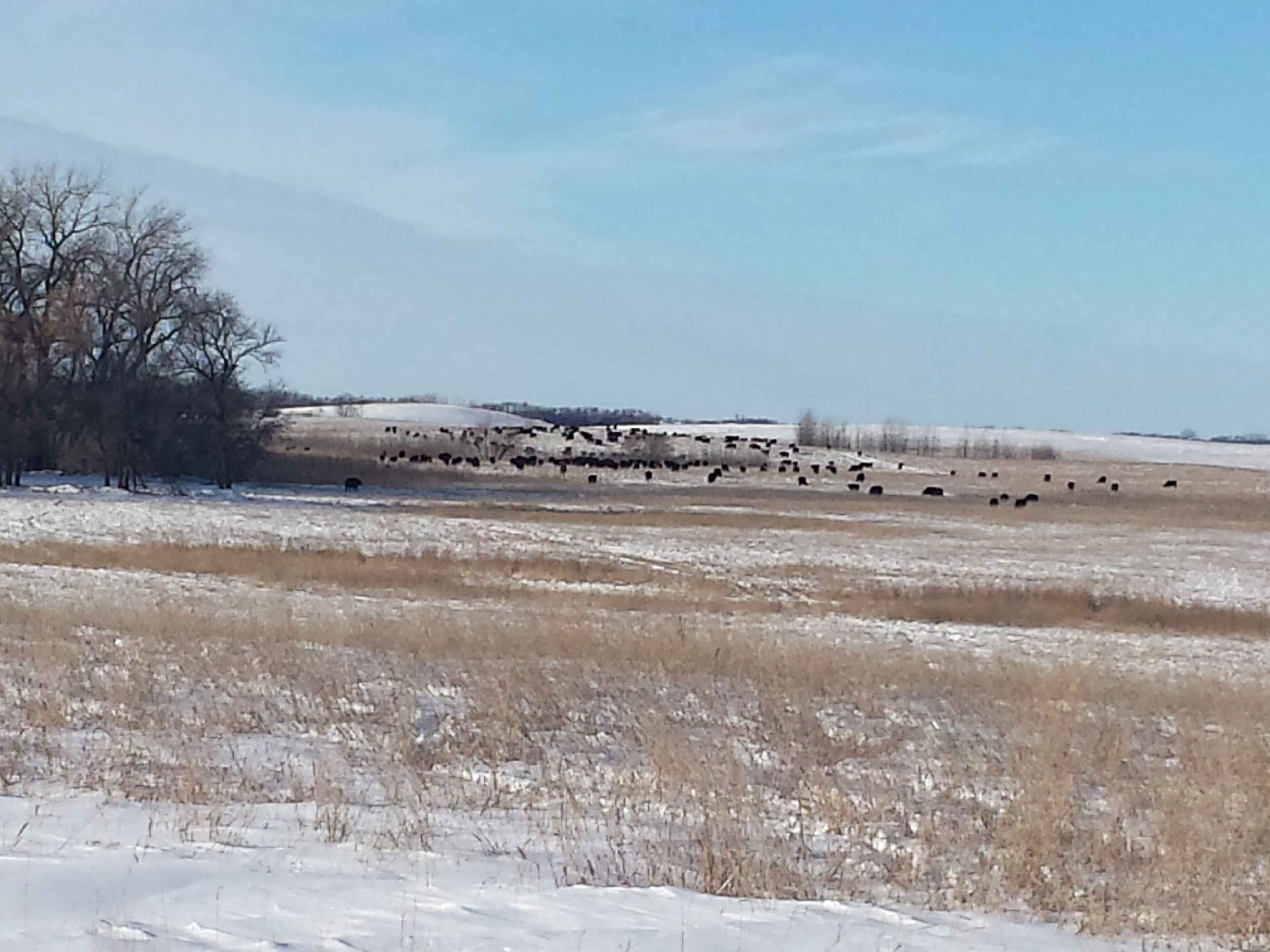 WINTER GRAZING 2013