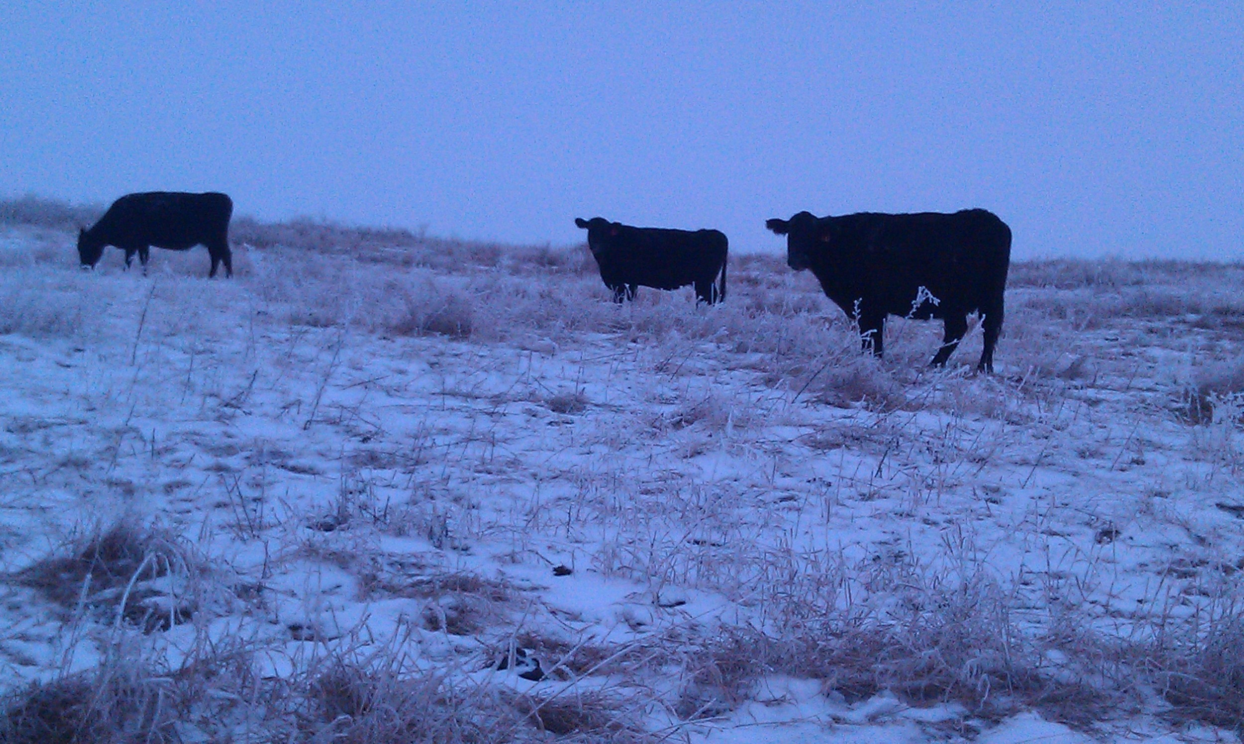 THESE OLD GIRLS KNOW HOW TO WORK FOR A LIVING! GRAZING JANUARY 2012