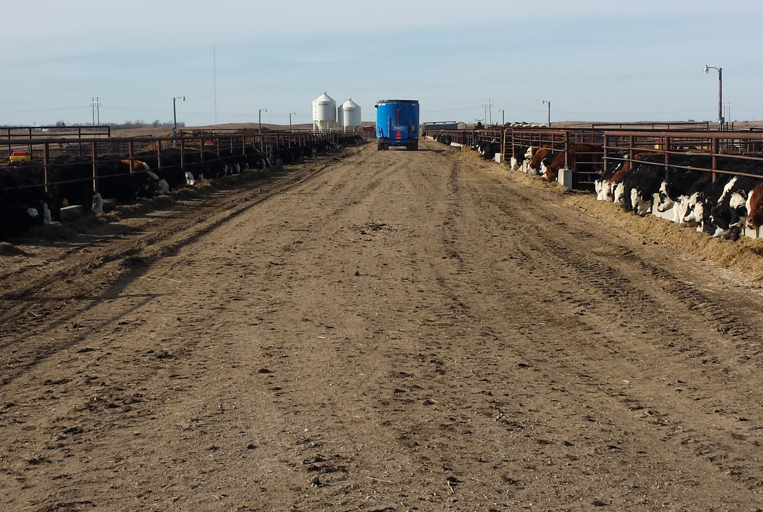 ELSTON FEEDLOT LOOK AT ALL THEM BALDIES