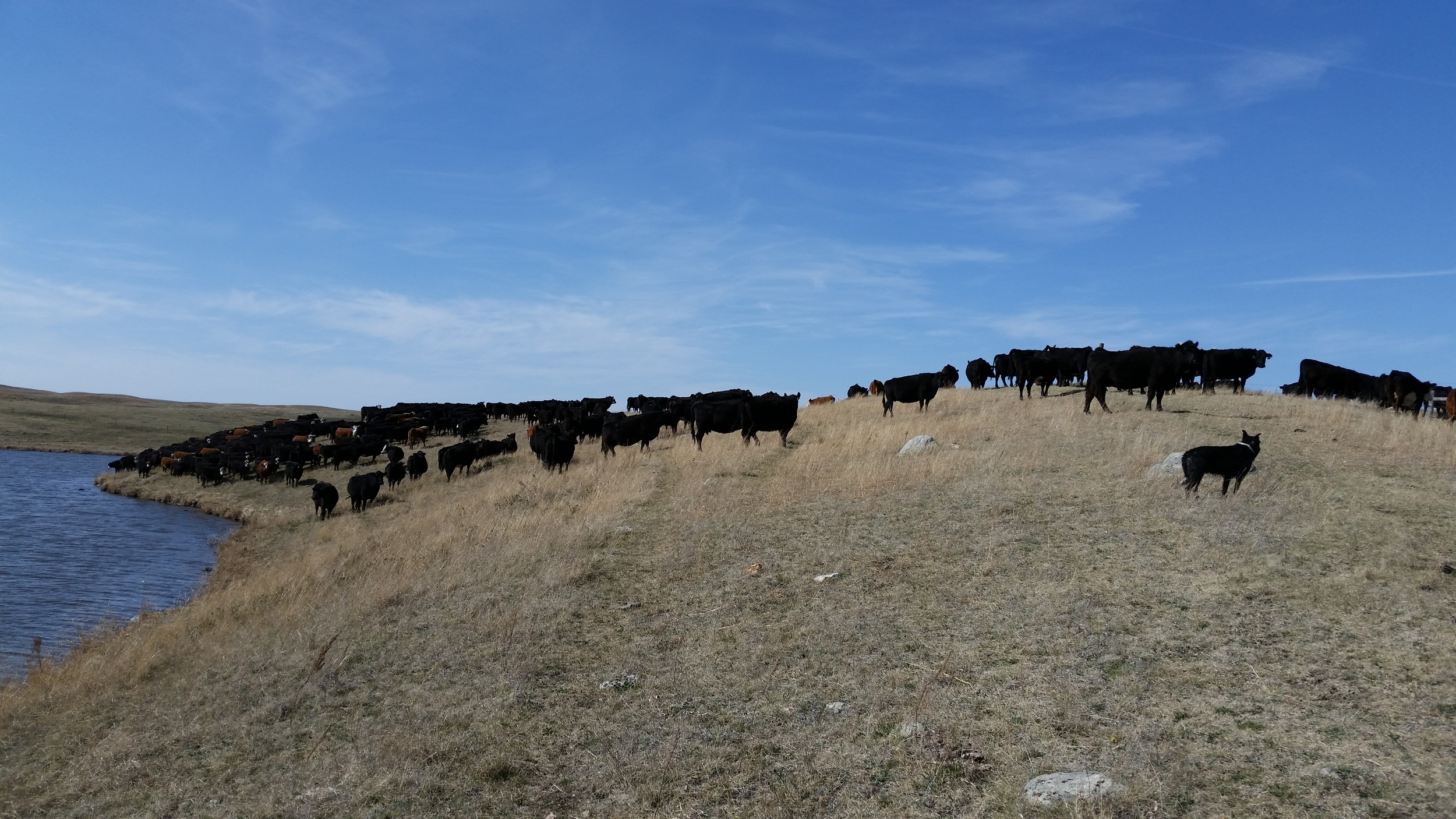 LOTS AND LOTS OF COWS