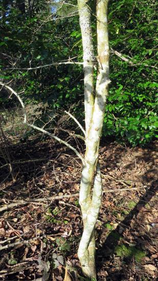 The Braided Hawthorn
