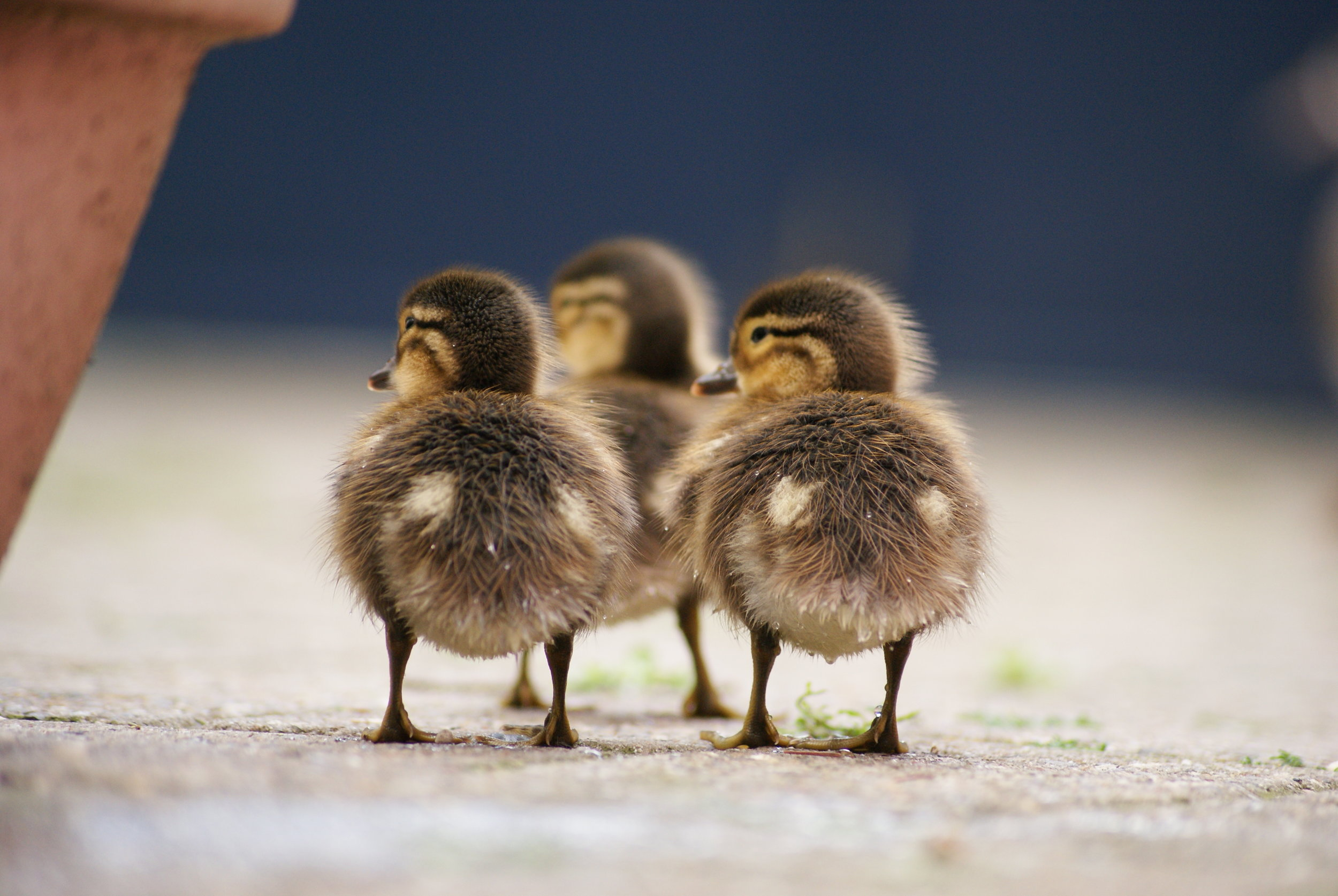 Aix_galericulata_-Belgium_-ducklings-8a.jpg
