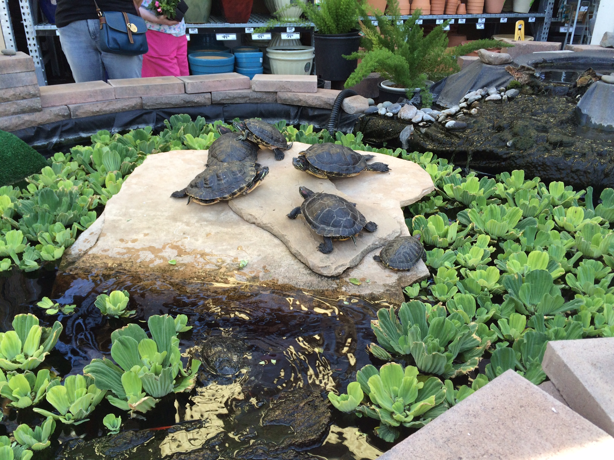 Tons of turtles! Just hanging out in the Garden Center of a Home Depot