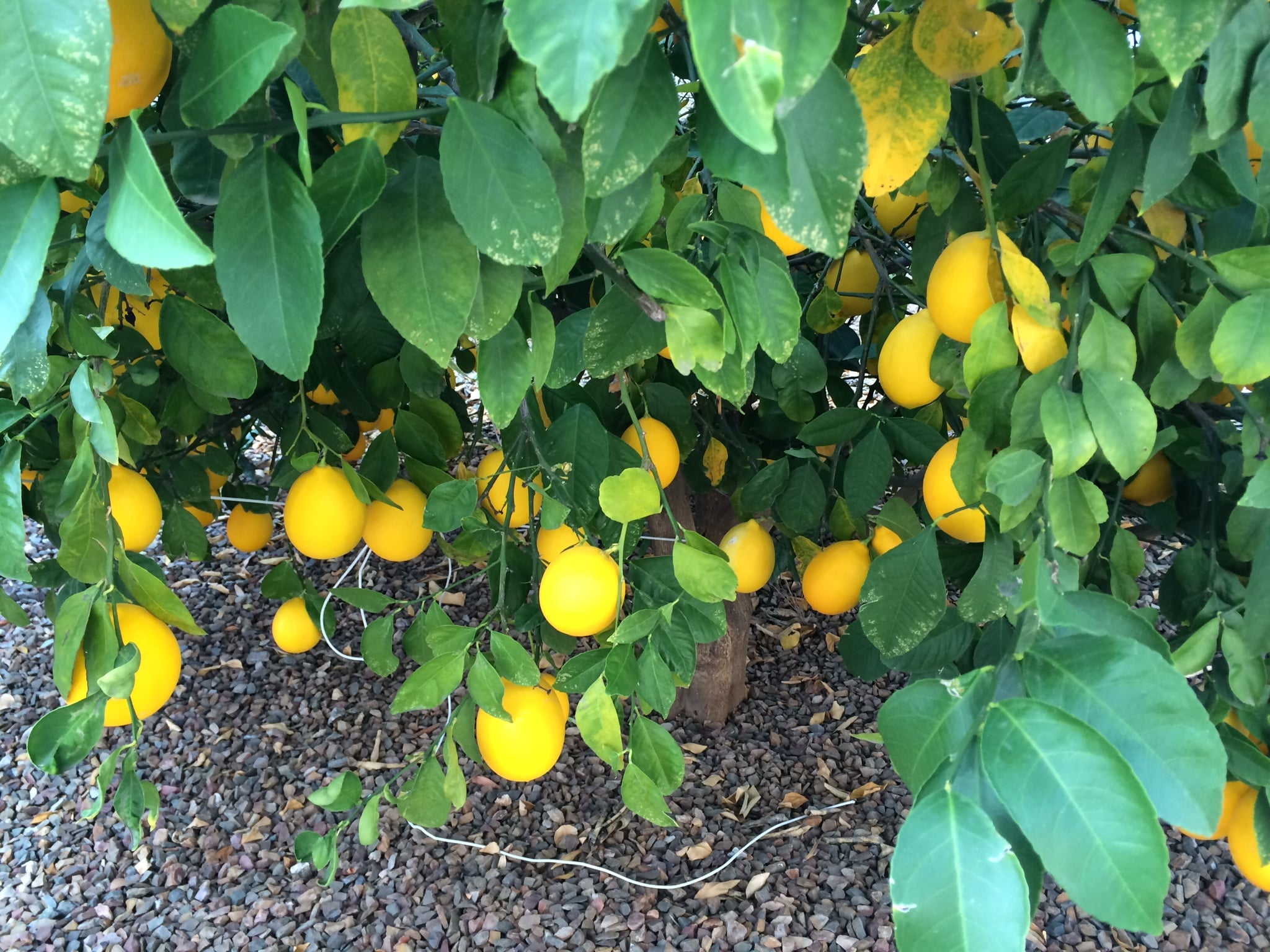 The lemon trees!