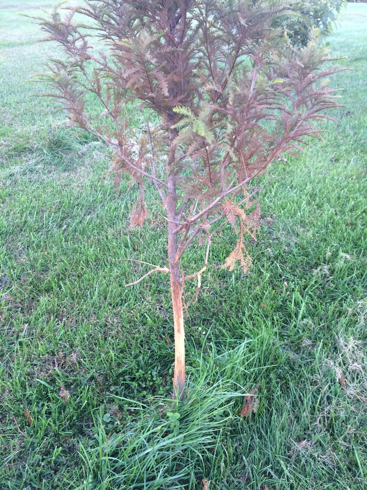 Deer Tree Damage2.JPG