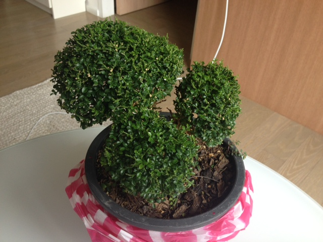 An awesome little Bonzai tree that we found a Chatuchak