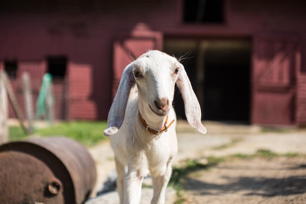 Zack Smith Photography North Carolina Brevard School of Music Center Barrel Barn Goat Pet Animal Cute Baby