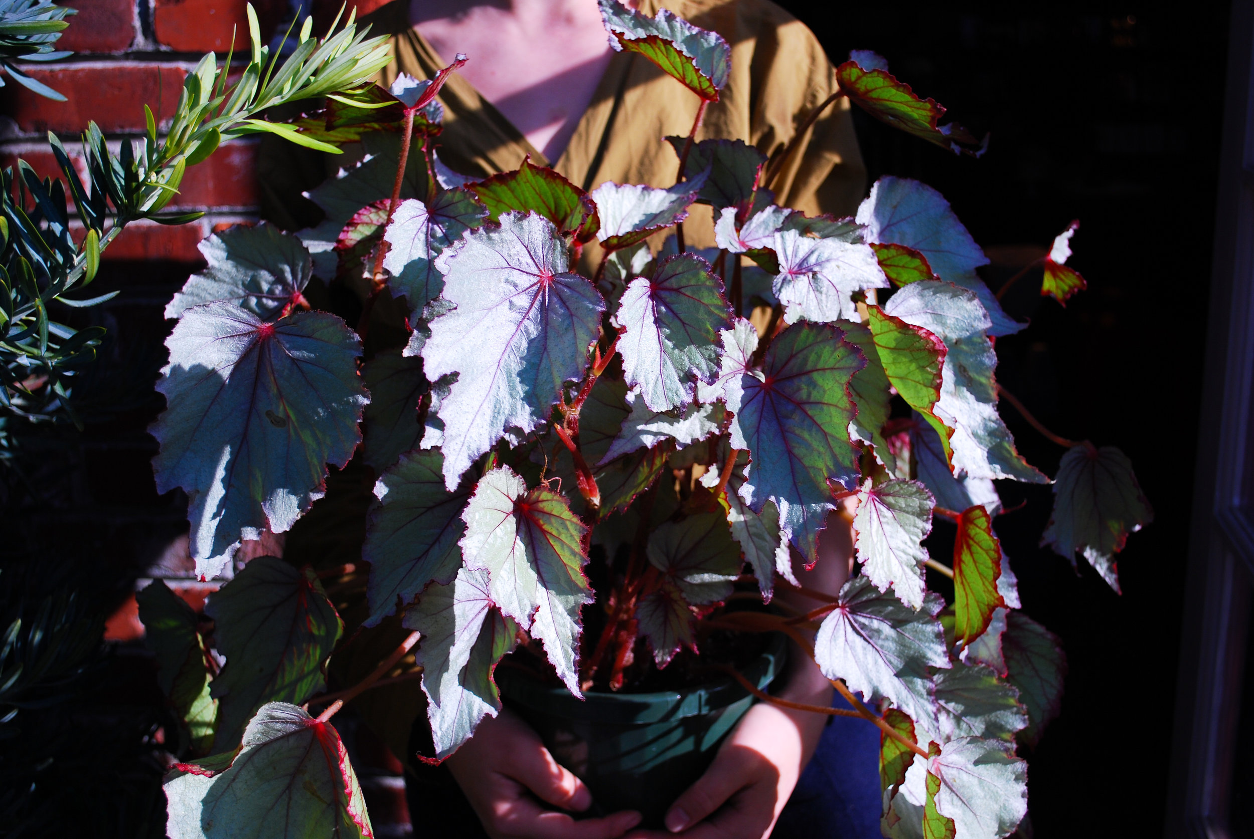 A (quite large) begonia.