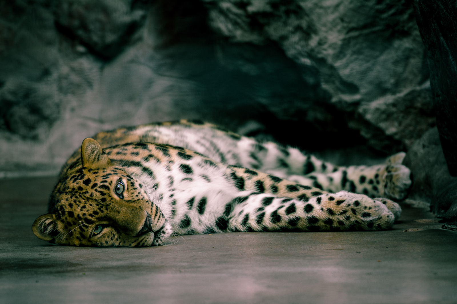 To get the full effect of the leopard's gaze, I had to shift my viewpoint so that I was on the same level.