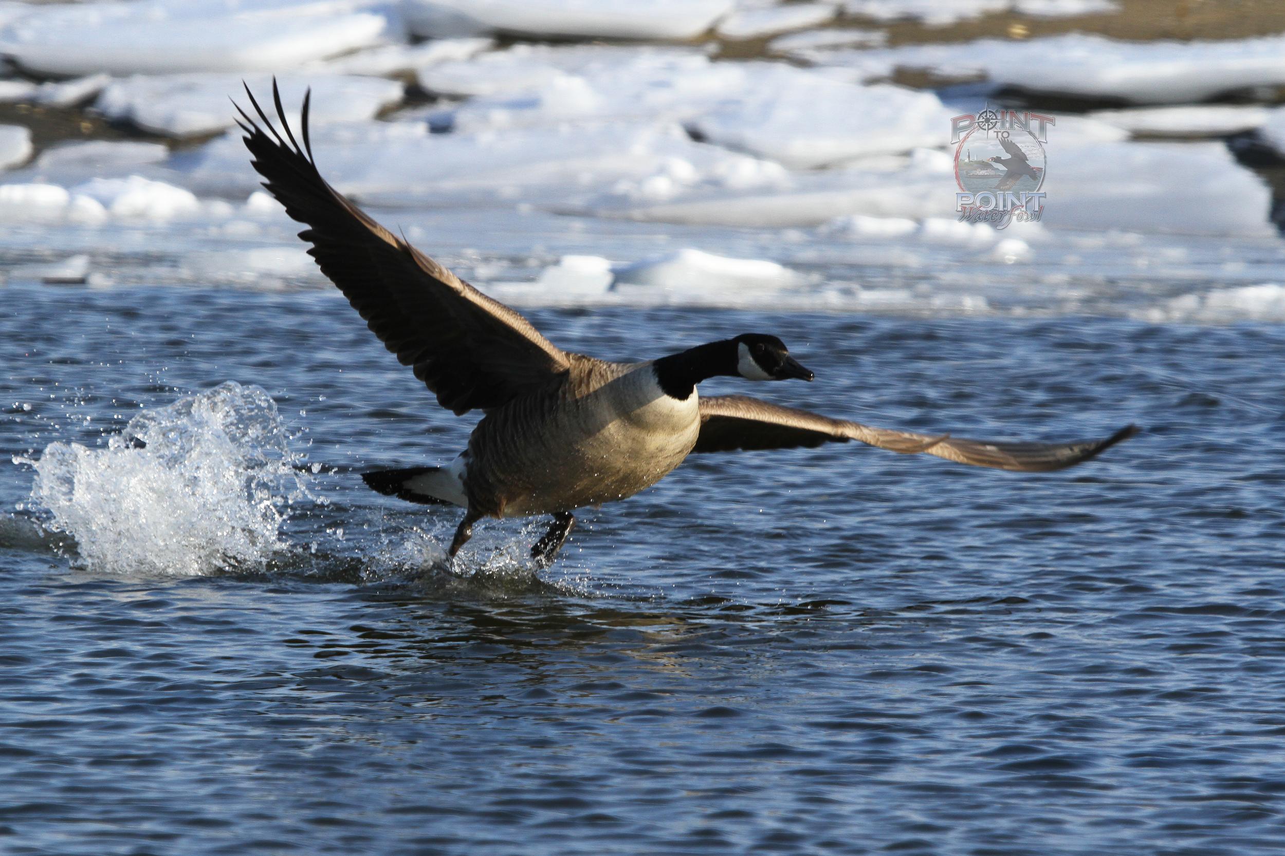 Goose in Flight 17.jpg