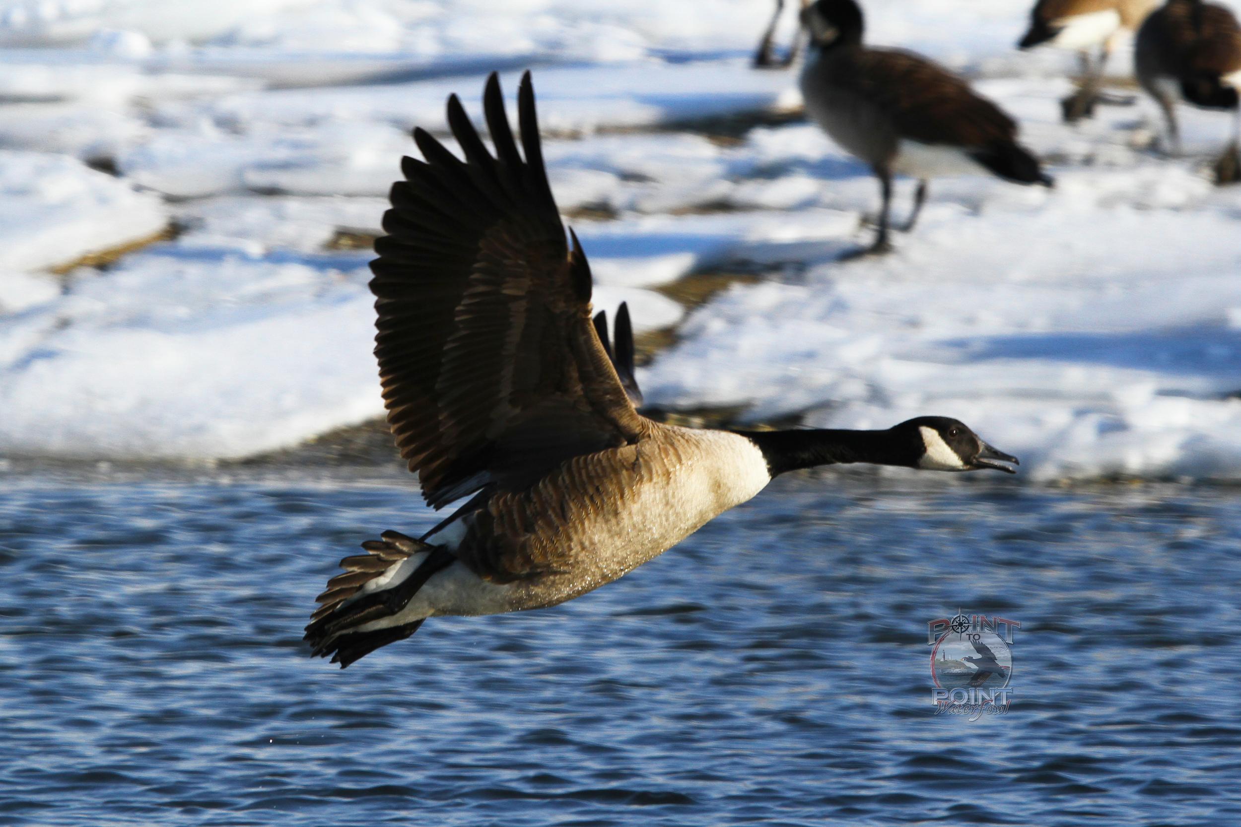 Goose 3.jpg