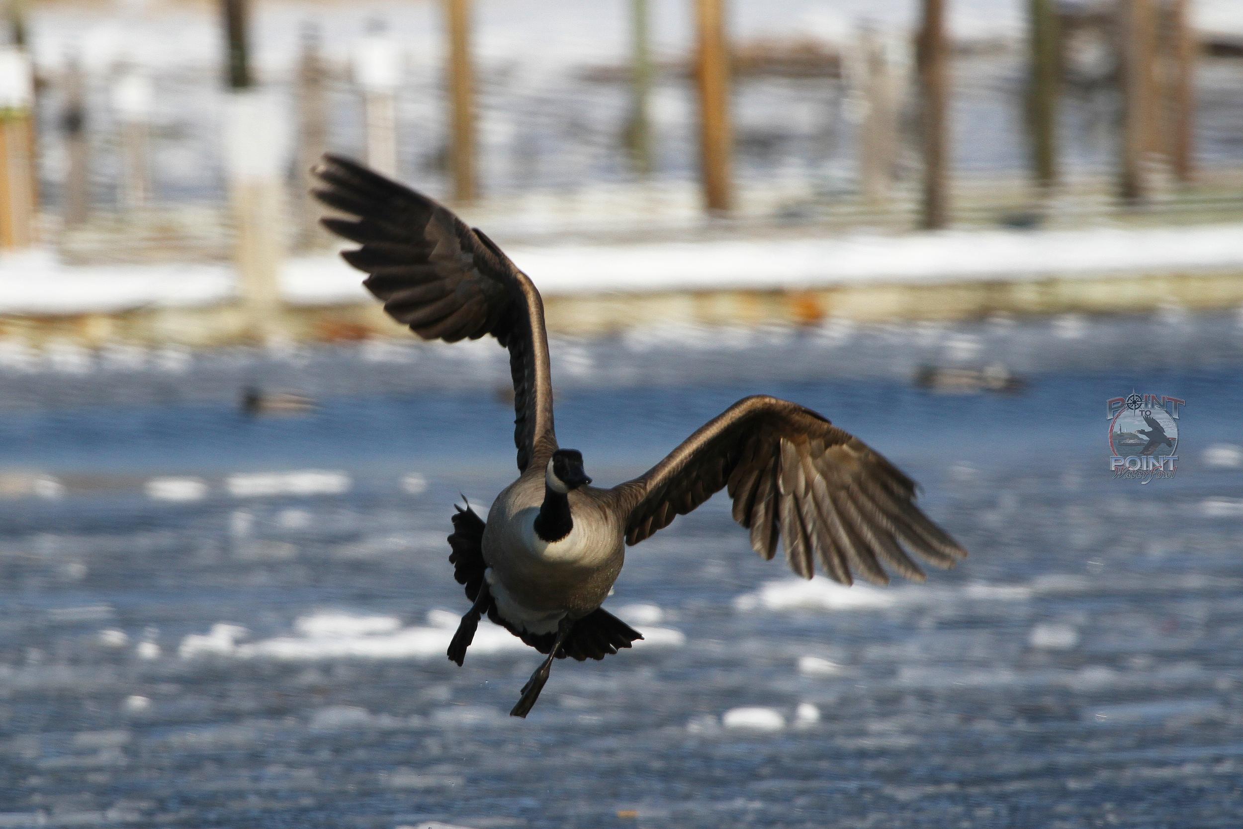 Goose in Flight 7.jpg