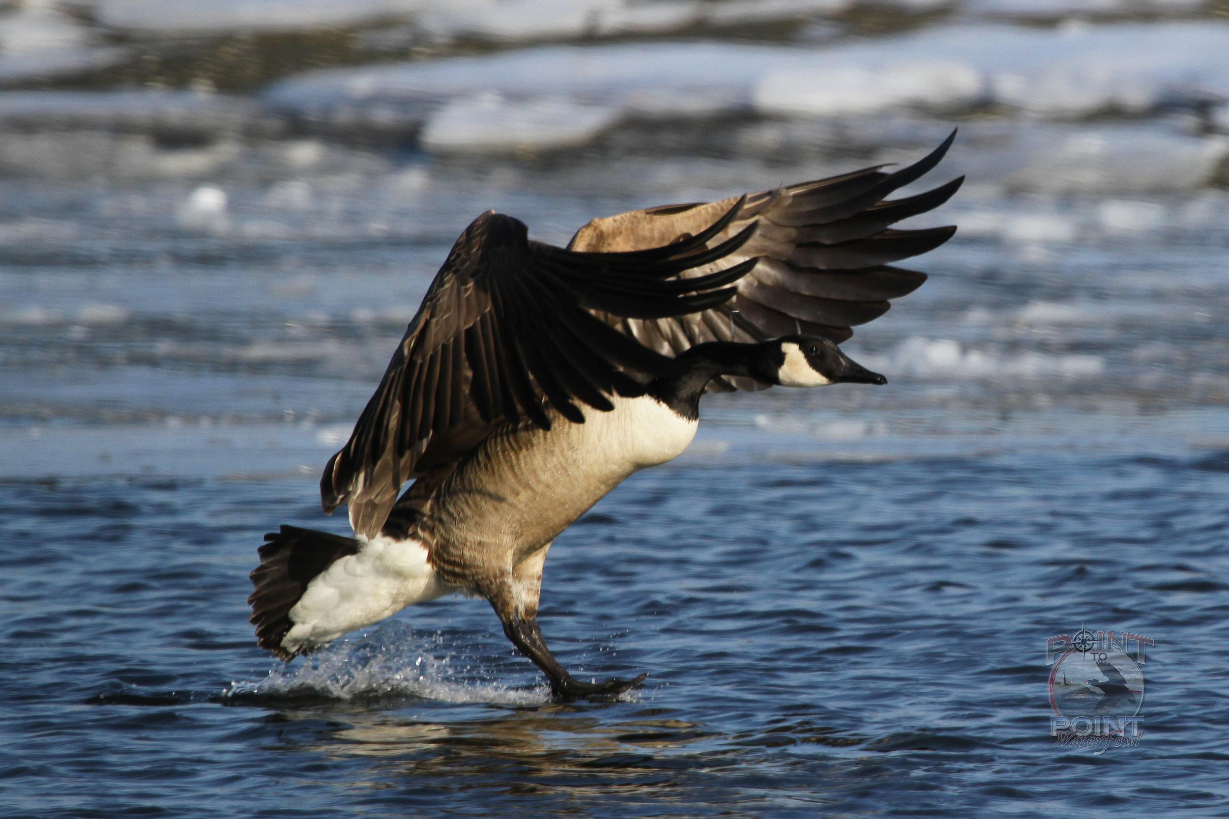 Goose in Flight 11.jpg
