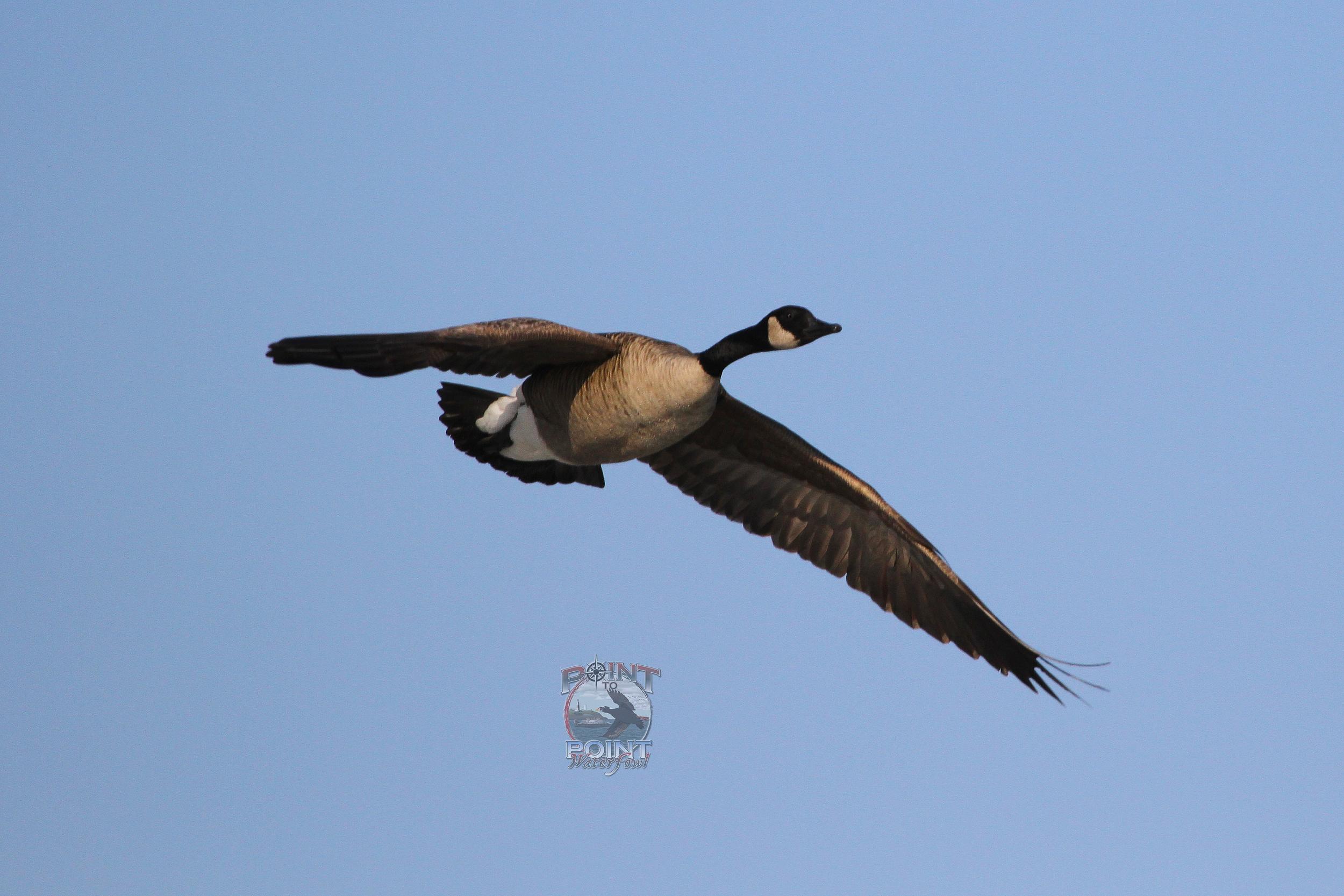 Goose in Flight.jpg