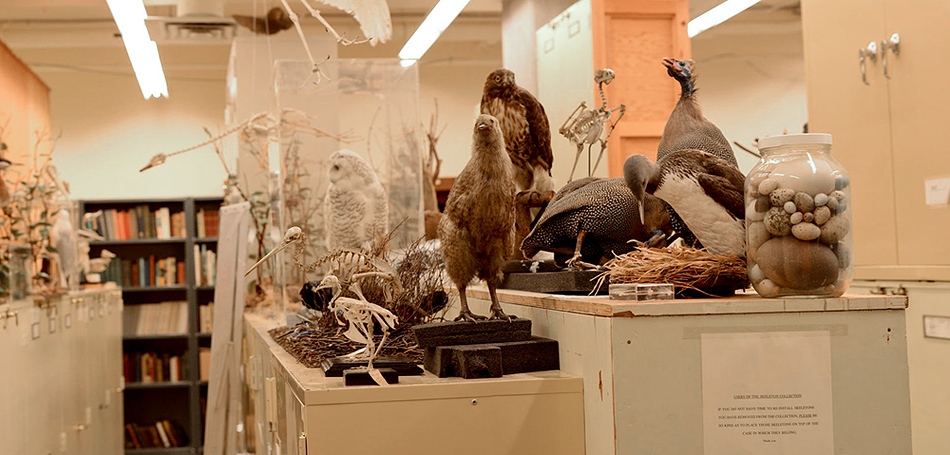 The Bird Collection is spread over 2 very large rooms. This room contains skeletons, eggs, nests and some mounted specimens.
