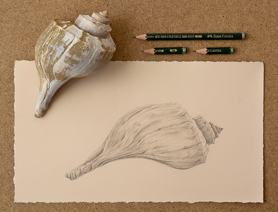 Eastern Conch, pencil on Stonehenge paper