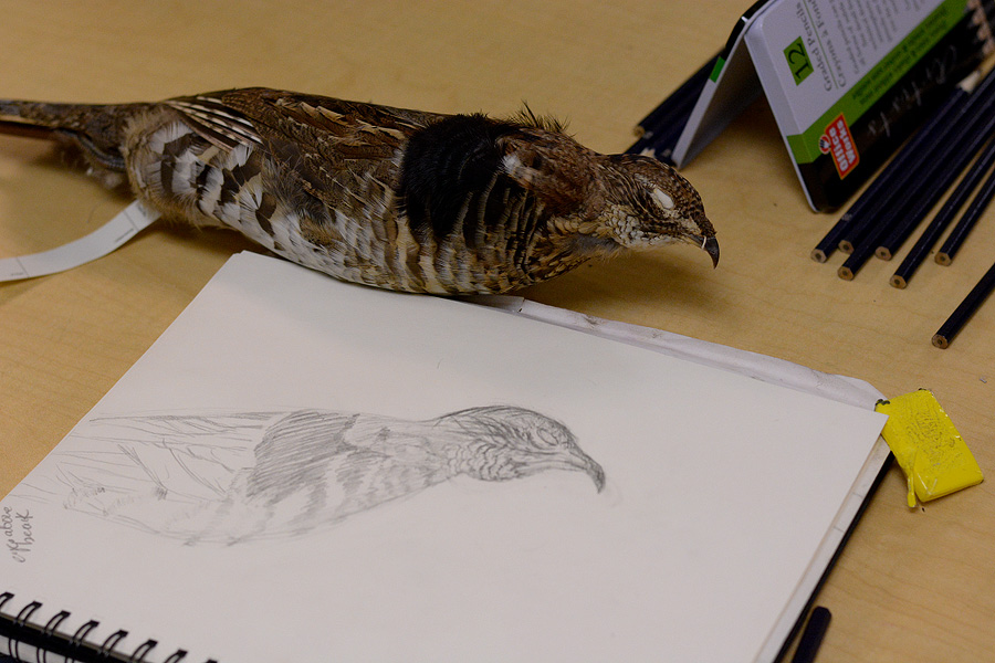 Ruffed Grouse drawing