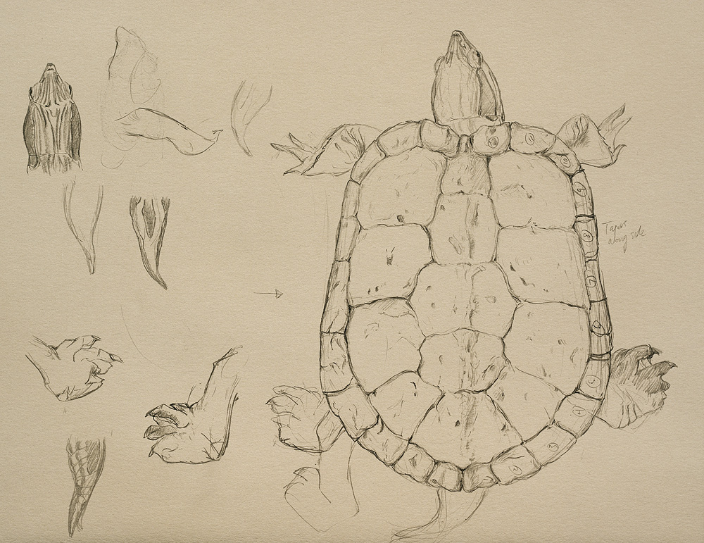 Red Eared Slider, pencil sketch