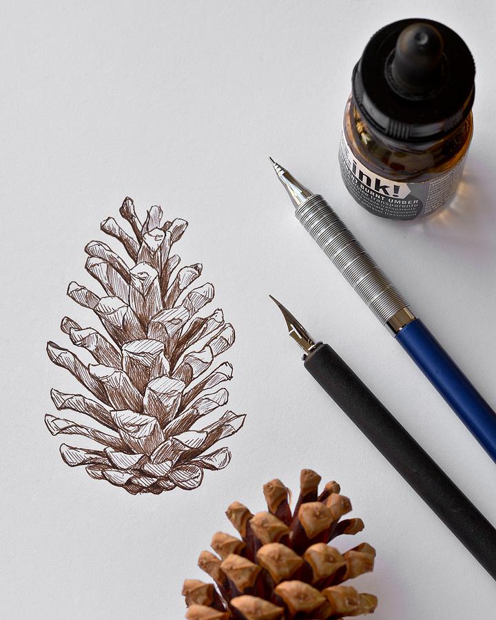Scots Pine Cone
