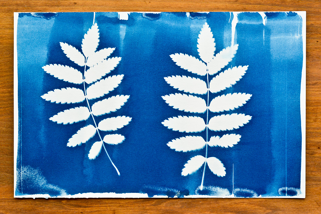 Cyanotype (Rowan Leaves)