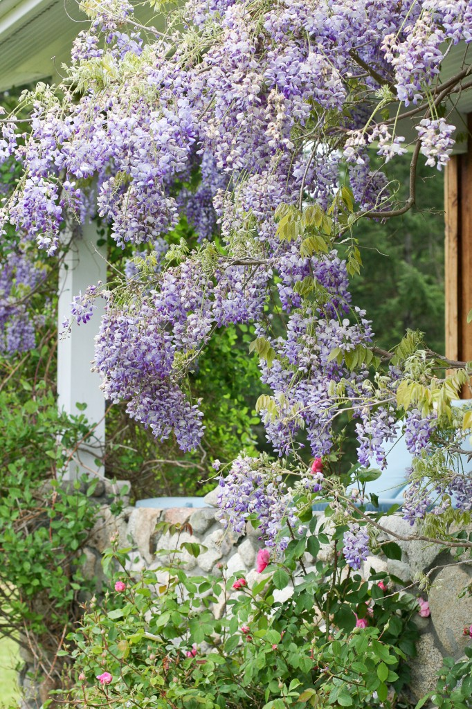 Wisteria over the Porch