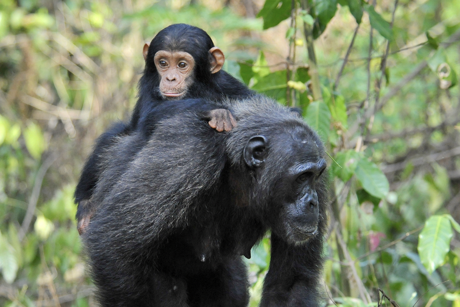 Chimpanzee mother and her infant