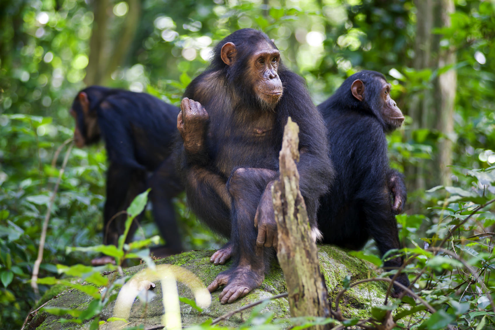 3 chimps in Gombe Stream National Park in Western Tanzania