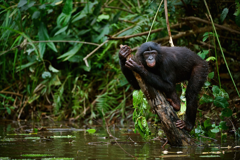 Bonobo on water tree trunk