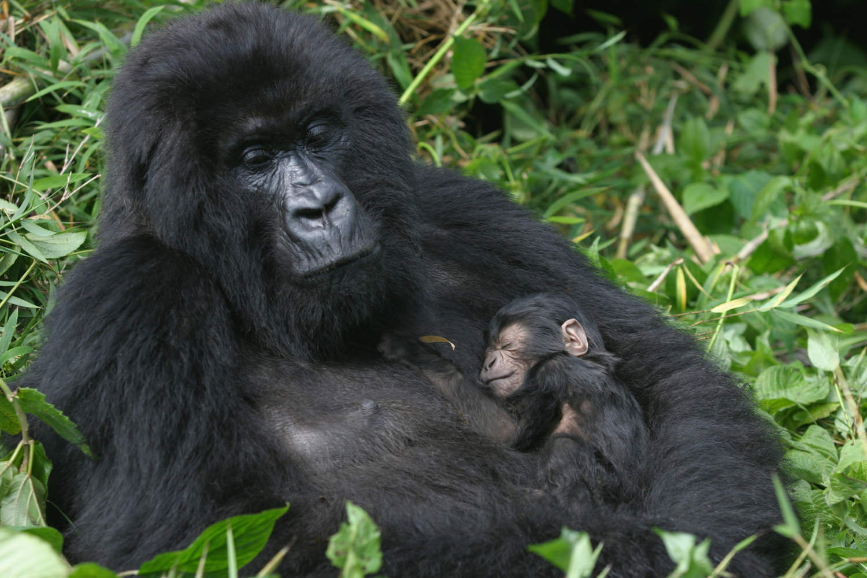 Female mountain gorilla and her newborn