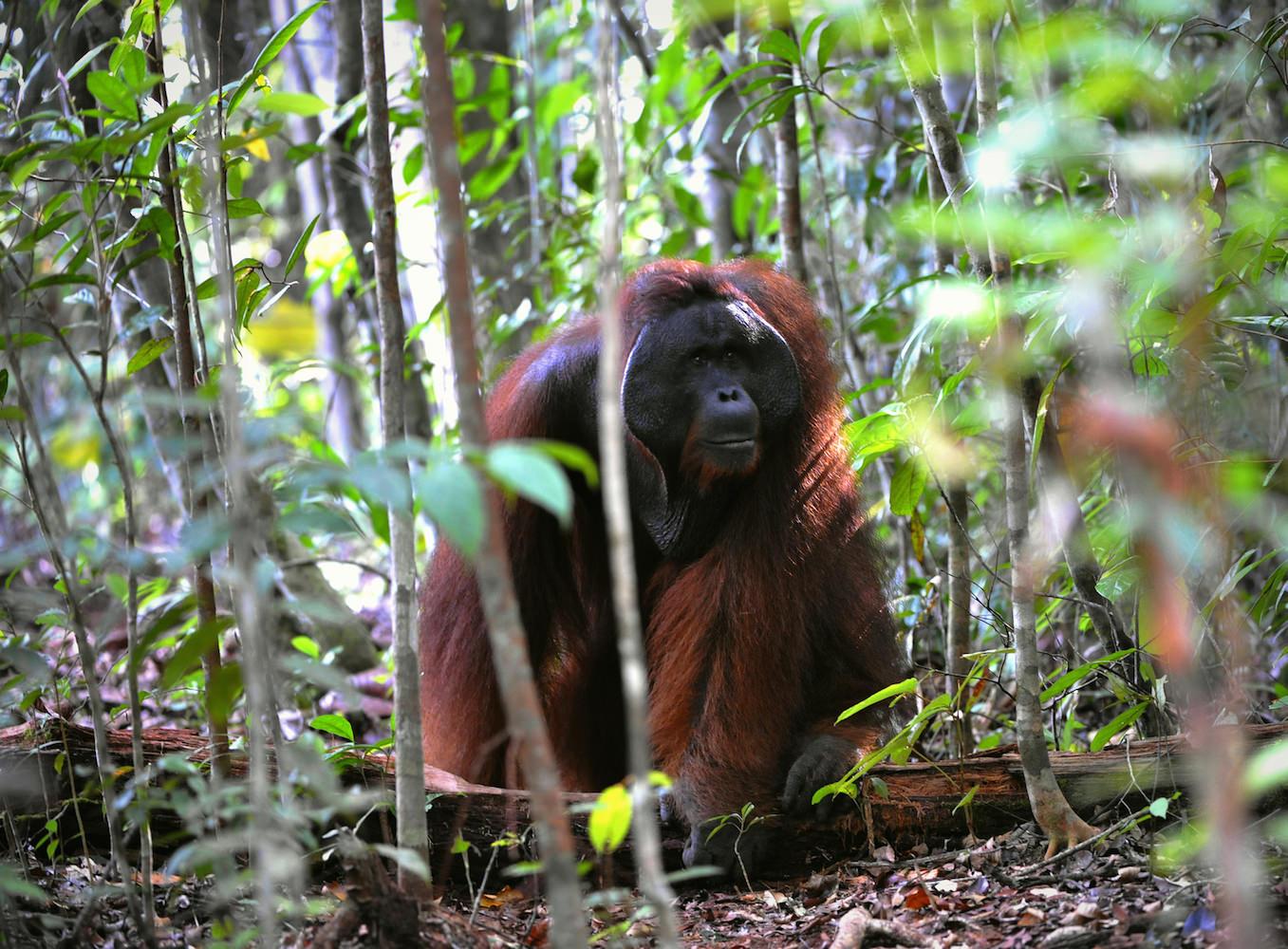 Flanged male orangutan in forest