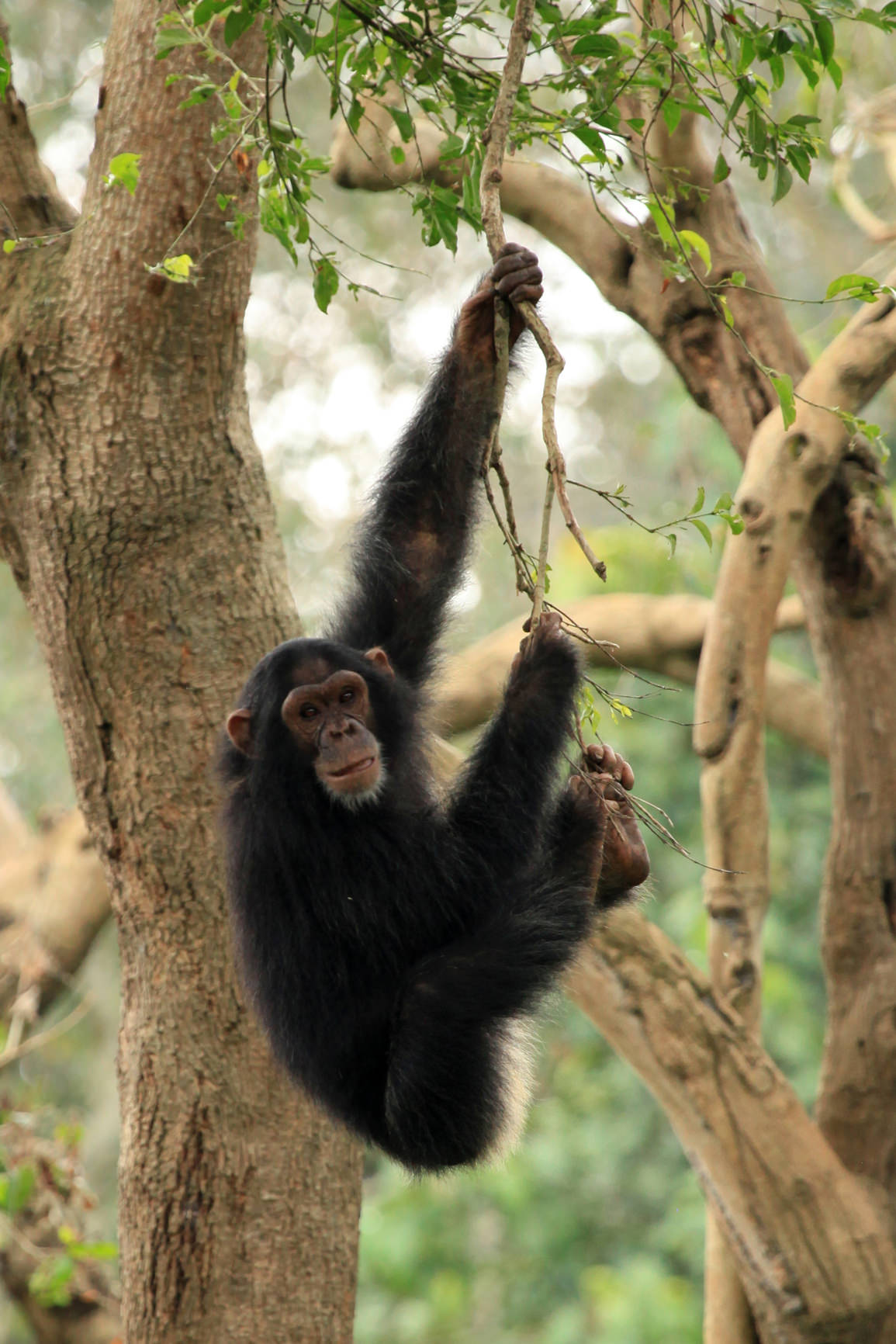 Infant chimpanzee in Uganda