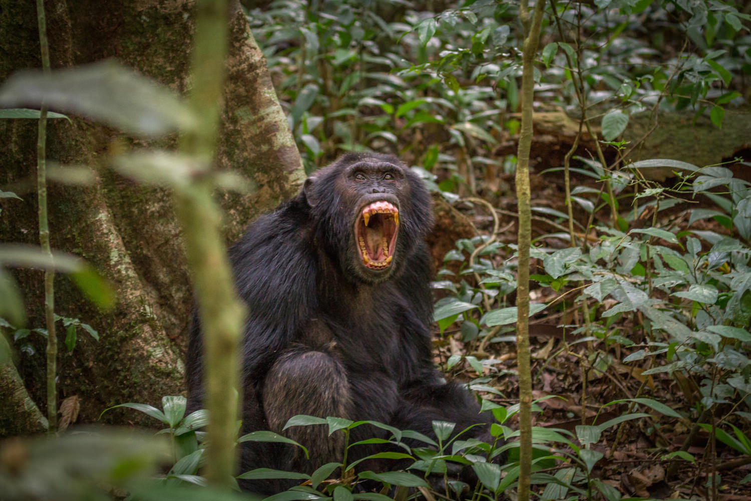 Male chimpanzee protecting his group's home range in Kibale Forest, Uganda