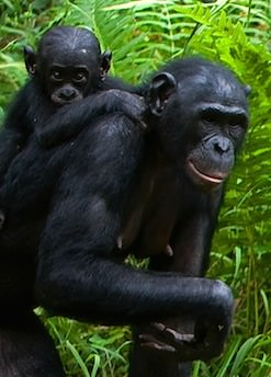 Bonobo mother and her infant